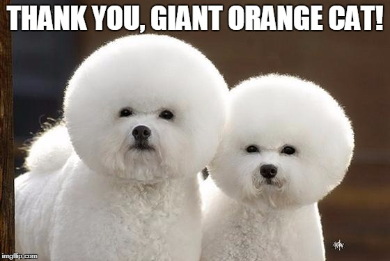 Bichon Frise | THANK YOU, GIANT ORANGE CAT! | image tagged in bichon frise | made w/ Imgflip meme maker