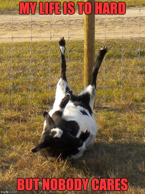 1thoix fainting goat memes imgflip