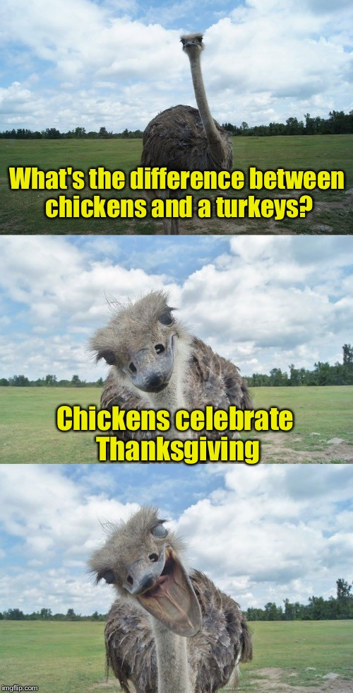 Bad Pun Ostrich | What's the difference between chickens and a turkeys? Chickens celebrate Thanksgiving | image tagged in bad pun ostrich | made w/ Imgflip meme maker