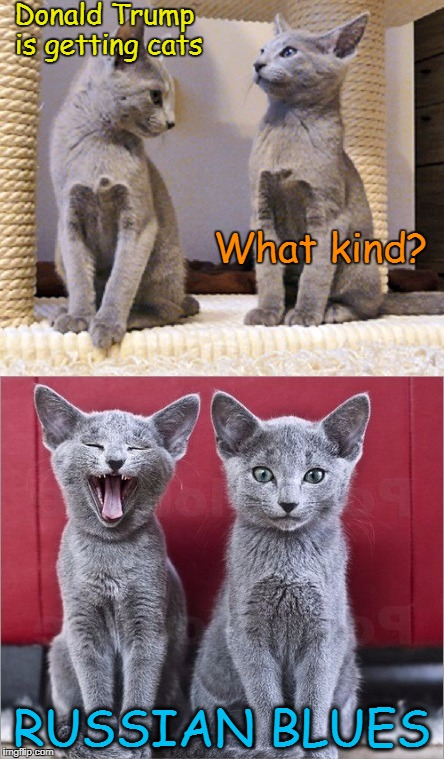 First Family Pets | Donald Trump is getting cats RUSSIAN BLUES What kind? | image tagged in donald trump,cats,russian blues | made w/ Imgflip meme maker