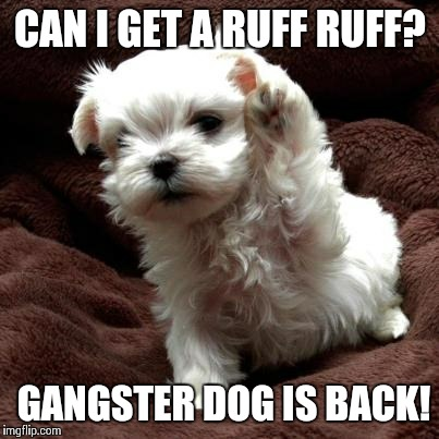Paw Bump | CAN I GET A RUFF RUFF? GANGSTER DOG IS BACK! | image tagged in don't like dogs | made w/ Imgflip meme maker