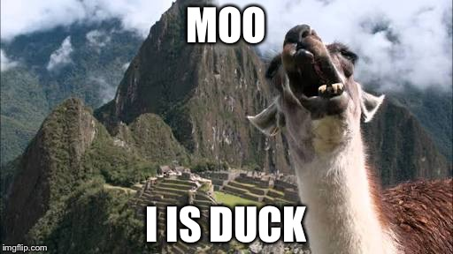 Plz help. Identity crisis | MOO I IS DUCK | image tagged in memes,llama,duck,moo,cow,identity crisis | made w/ Imgflip meme maker