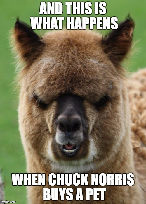 Alpaca Staredown | AND THIS IS WHAT HAPPENS WHEN CHUCK NORRIS BUYS A PET | image tagged in alpaca staredown | made w/ Imgflip meme maker