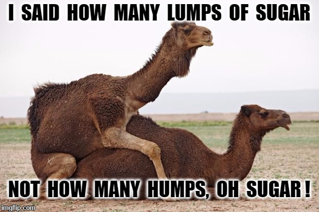 I  SAID  HOW  MANY  LUMPS  OF  SUGAR NOT  HOW  MANY  HUMPS,  OH  SUGAR ! | image tagged in camelsex | made w/ Imgflip meme maker