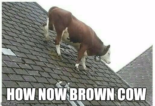 How now brown cow | HOW NOW BROWN COW | image tagged in brown cow,brown,cow,roof | made w/ Imgflip meme maker