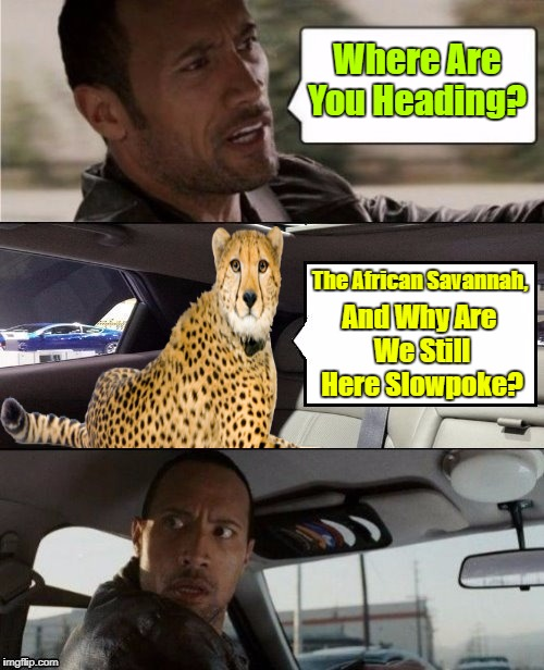 Clash Of The Rock & The Cheetah! (≖_≖ ) | Where Are You Heading? The African Savannah, And Why Are We Still Here Slowpoke? | image tagged in the rock driving blank 2,the rock driving,memes,cheetah,craziness_all_the_way,repost | made w/ Imgflip meme maker