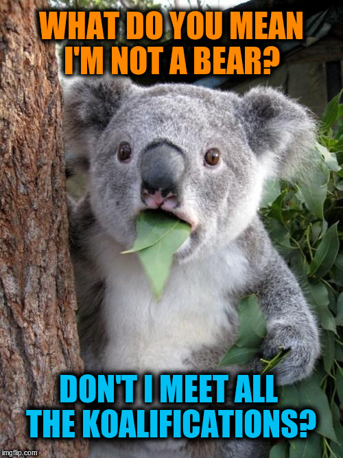 Surprised Koala Meme | WHAT DO YOU MEAN I'M NOT A BEAR? DON'T I MEET ALL THE KOALIFICATIONS? | image tagged in memes,surprised koala,funny,puns | made w/ Imgflip meme maker