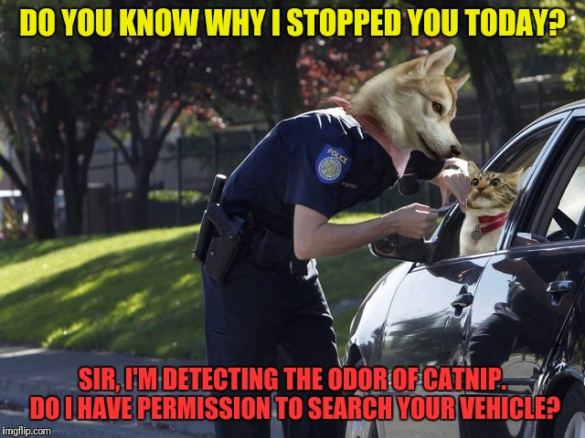 Should have left the catnip at home... | DO YOU KNOW WHY I STOPPED YOU TODAY? SIR, I'M DETECTING THE ODOR OF CATNIP. DO I HAVE PERMISSION TO SEARCH YOUR VEHICLE? | image tagged in memes,dogs,cats,catnip,police,bad decision | made w/ Imgflip meme maker