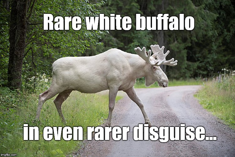 A rare white moose is seen in Gunnarskog, Varmland, Sweden. Photo TT News AgencyTommy Pedersen Reuters | Rare white buffalo in even rarer disguise... | image tagged in white buffalo,sweden,moose,white moose,tommy pederson photo,disguise | made w/ Imgflip meme maker