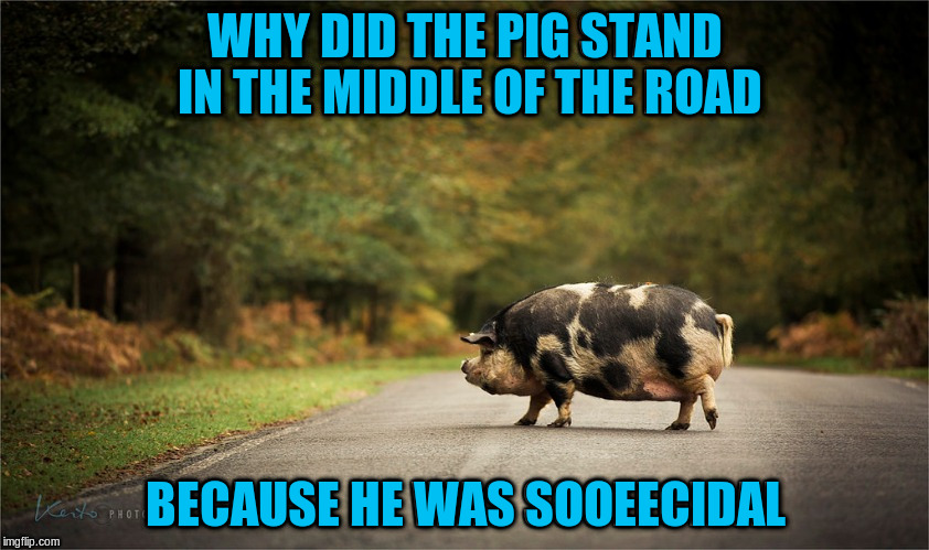 Originally a reply by rpc1 to my comment to his post but we decided I should post it | WHY DID THE PIG STAND IN THE MIDDLE OF THE ROAD BECAUSE HE WAS SOOEECIDAL | image tagged in memes,funny,puns,animals,pigs | made w/ Imgflip meme maker