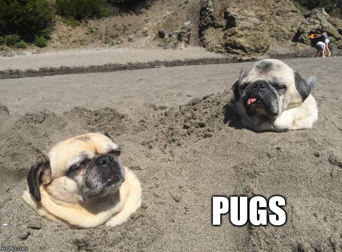 PUGS | made w/ Imgflip meme maker