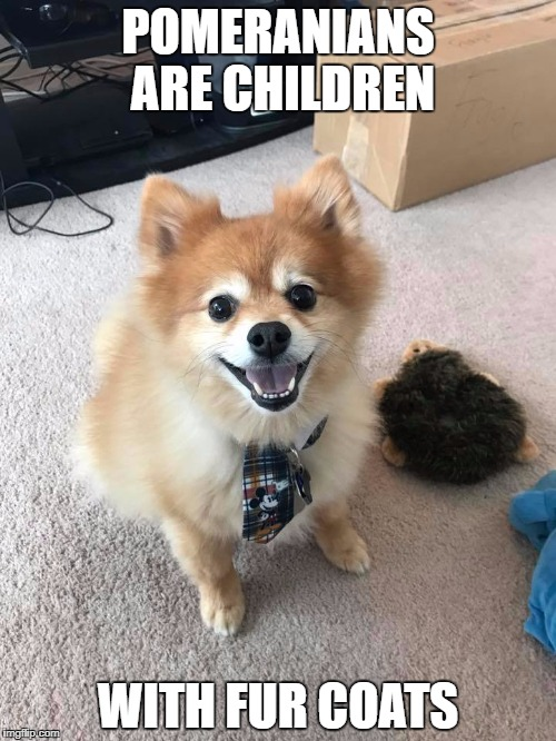 Pomeranians | POMERANIANS ARE CHILDREN WITH FUR COATS | image tagged in pomeranian,dogs | made w/ Imgflip meme maker