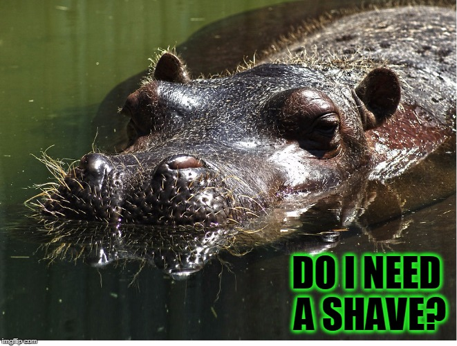 Whiskers the Hippo | DO I NEED A SHAVE? | image tagged in vince vance,hippo,hippopotamus,i want a hippopotamus,animal meme | made w/ Imgflip meme maker