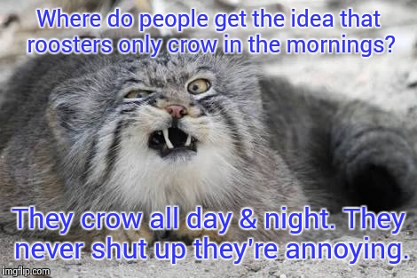 Ew kitty cat | Where do people get the idea that roosters only crow in the mornings? They crow all day & night. They never shut up they're annoying. | image tagged in ew kitty cat | made w/ Imgflip meme maker