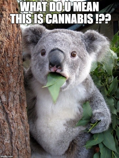 Surprised Coala | WHAT DO U MEAN THIS IS CANNABIS !?? | image tagged in memes,surprised coala | made w/ Imgflip meme maker