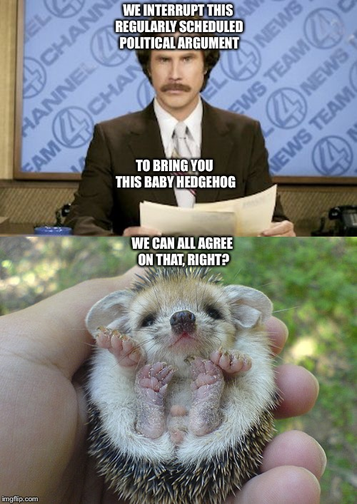 We can all agree on that, right? | WE INTERRUPT THIS REGULARLY SCHEDULED POLITICAL ARGUMENT WE CAN ALL AGREE ON THAT, RIGHT? TO BRING YOU THIS BABY HEDGEHOG | image tagged in politics lol,baby animals,ron burgundy | made w/ Imgflip meme maker