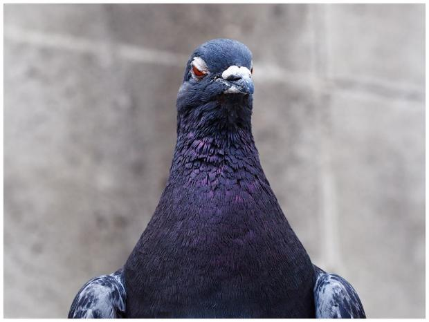 Hatred Pigeon Meme Template