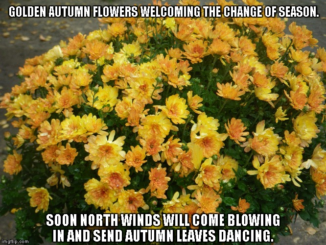 Autumn Flowers | GOLDEN AUTUMN FLOWERS WELCOMING THE CHANGE OF SEASON. SOON NORTH WINDS WILL COME BLOWING IN AND SEND AUTUMN LEAVES DANCING. | image tagged in autumn,autumn flowers,seasons,north winds,autumn leaves | made w/ Imgflip meme maker