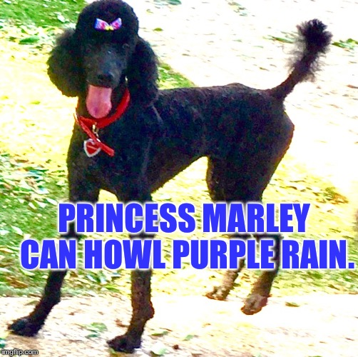 Poodle Rain~ Poodle Rain~ | PRINCESS MARLEY CAN HOWL PURPLE RAIN. | image tagged in poodle rain | made w/ Imgflip meme maker
