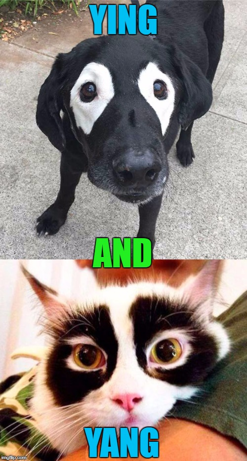 We all have our counterparts... | YING AND YANG | image tagged in ying and yang,memes,cats and dogs,cats,dogs,animals | made w/ Imgflip meme maker