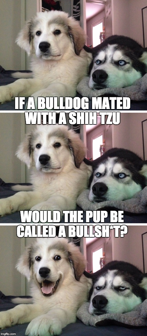Bad pun dogs | IF A BULLDOG MATED WITH A SHIH TZU WOULD THE PUP BE CALLED A BULLSH*T? | image tagged in bad pun dogs | made w/ Imgflip meme maker
