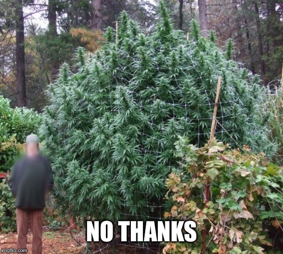 NO THANKS | image tagged in big weed plant | made w/ Imgflip meme maker
