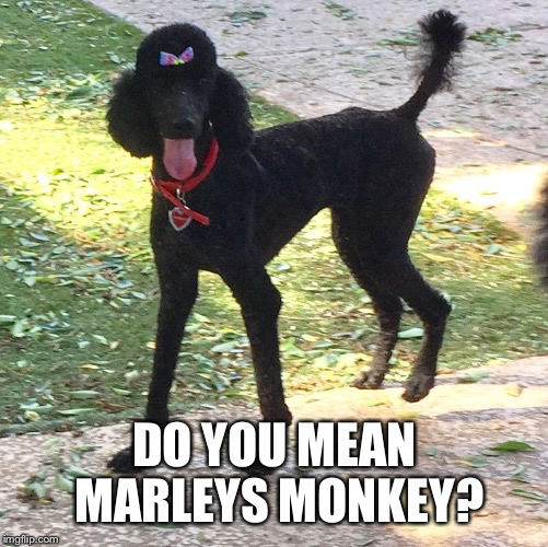 Marley. Do you got the monkey? | DO YOU MEAN MARLEYS MONKEY? | image tagged in marley poodle,marleys got the monkey,funny,meme | made w/ Imgflip meme maker