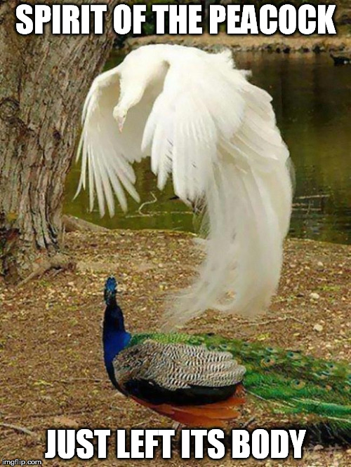 SPIRIT OF THE PEACOCK JUST LEFT ITS BODY | image tagged in peacock,spirit | made w/ Imgflip meme maker