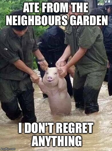 Gangsta Pig | ATE FROM THE NEIGHBOURS GARDEN I DON'T REGRET ANYTHING | image tagged in funny,stealing,eating,gangsta,pig | made w/ Imgflip meme maker