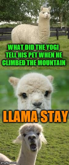 Alpaca Bad Pun | WHAT DID THE YOGI TELL HIS PET WHEN HE CLIMBED THE MOUNTAIN LLAMA STAY | image tagged in alpaca bad pun | made w/ Imgflip meme maker
