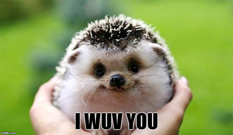 Photogenic Hedgehog | I WUV YOU | image tagged in i love you,hedgehog,adorable,cute animals,smile | made w/ Imgflip meme maker