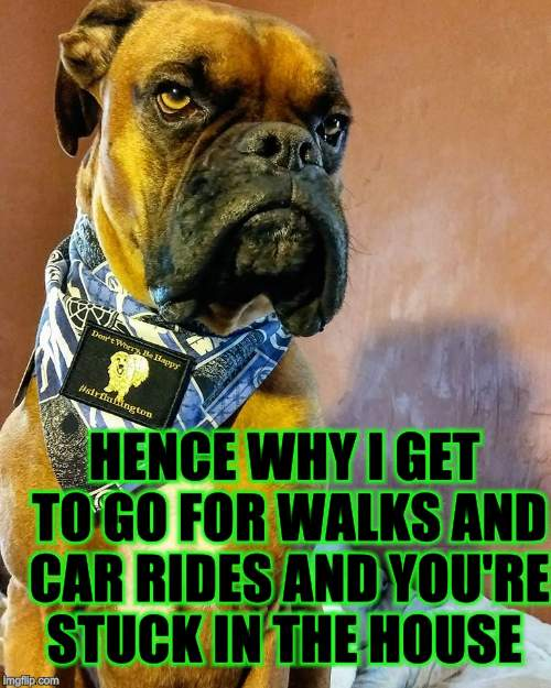 Grumpy Dog | HENCE WHY I GET TO GO FOR WALKS AND CAR RIDES AND YOU'RE STUCK IN THE HOUSE | image tagged in grumpy dog | made w/ Imgflip meme maker