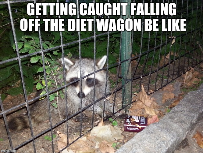 Hershey's Raccoon | GETTING CAUGHT FALLING OFF THE DIET WAGON BE LIKE | image tagged in dieting,diet,diets,funny,epic fail,raccoon | made w/ Imgflip meme maker