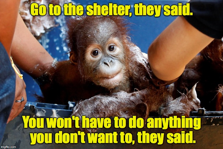 You'll be treated like a king, they said | Go to the shelter, they said. You won't have to do anything you don't want to, they said. | image tagged in orangutan,bath | made w/ Imgflip meme maker