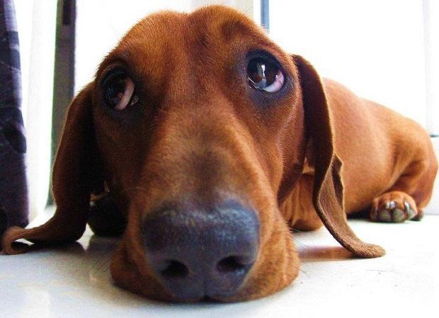 Resultado de imagen para dachshund sad