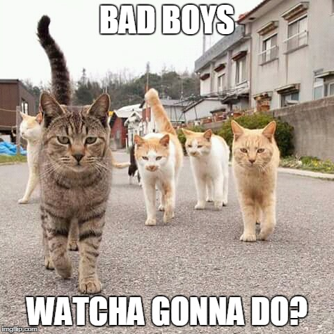 bad boys | BAD BOYS WATCHA GONNA DO? | image tagged in cats,tom cats,bad boys,wrong neighboorhood cats,warrior cats,cats are awesome | made w/ Imgflip meme maker