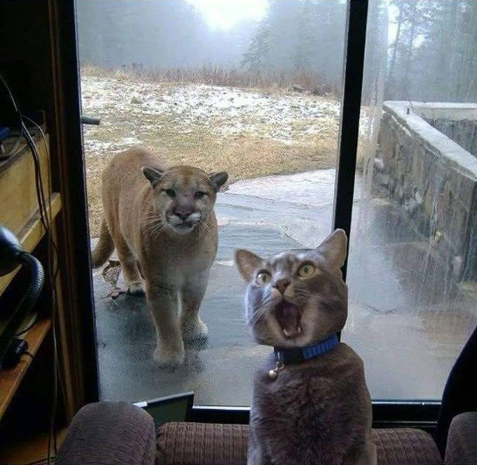 House Cat with Mountain Lion at the door Meme Template