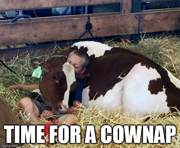 TIME FOR A COWNAP | image tagged in animals,cow,little boy,sleeping | made w/ Imgflip meme maker