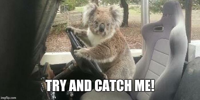 koala rolling | TRY AND CATCH ME! | image tagged in koala rolling | made w/ Imgflip meme maker
