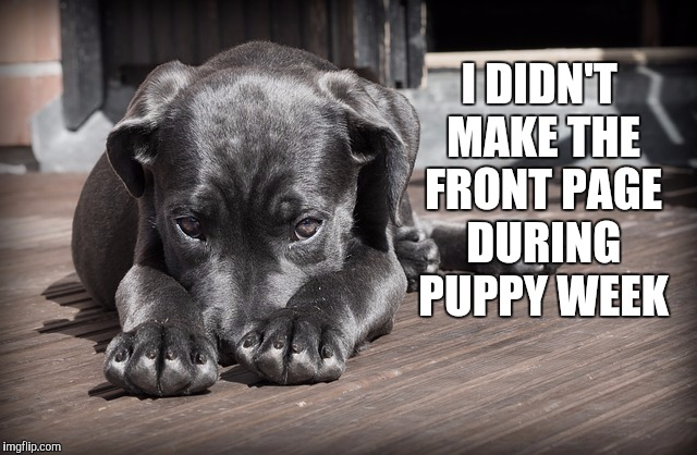 Third page was the best I could do. It was fun though | I DIDN'T MAKE THE FRONT PAGE DURING PUPPY WEEK | image tagged in sad puppy,jbmemegeek,puppy week,cute puppies,cute animals,funny dogs | made w/ Imgflip meme maker
