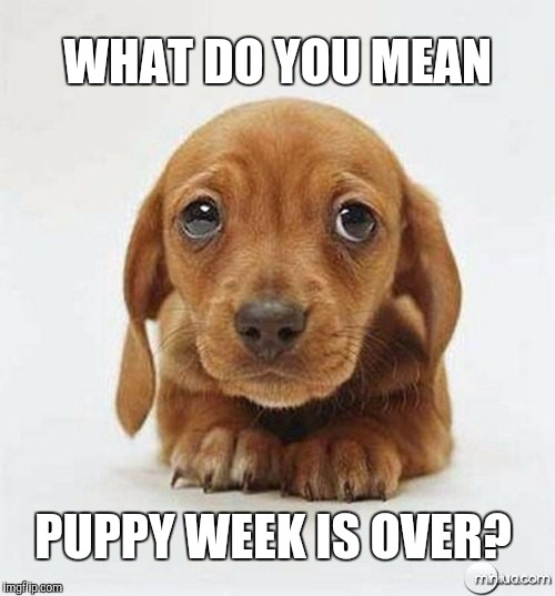 It's over :( | WHAT DO YOU MEAN PUPPY WEEK IS OVER? | image tagged in sad puppy eyes,puppy week,jbmemegeek,cute puppies,funny dogs,cute animals | made w/ Imgflip meme maker