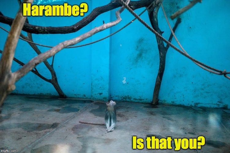 I'm hearing voices | Harambe? Is that you? | image tagged in monkey,enclosure,harambe | made w/ Imgflip meme maker