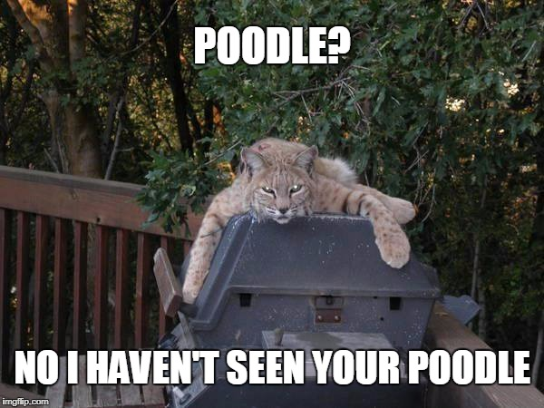 What poodle? | POODLE? NO I HAVEN'T SEEN YOUR POODLE | image tagged in poodle,animals | made w/ Imgflip meme maker
