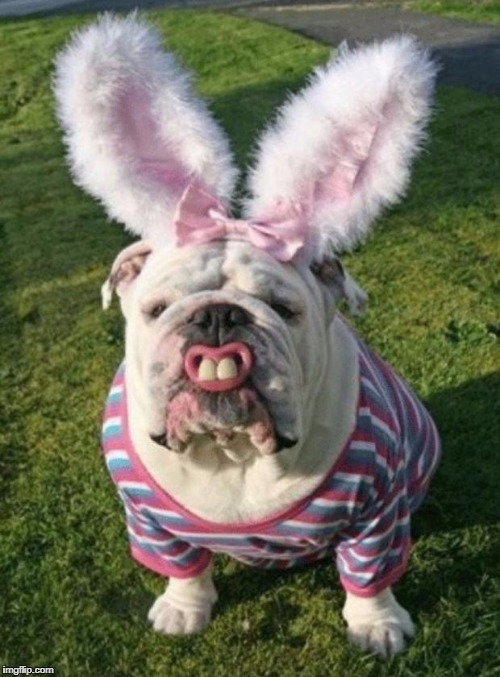 Best Bulldog Bunny | image tagged in best bulldog bunny | made w/ Imgflip meme maker