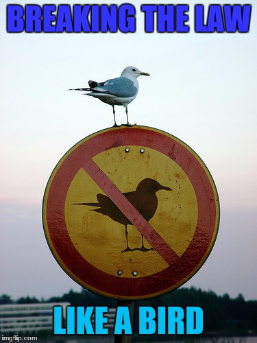 That is one Bad to the bone bird | BREAKING THE LAW LIKE A BIRD | image tagged in memes,dank,bird,animals,breaking the law | made w/ Imgflip meme maker