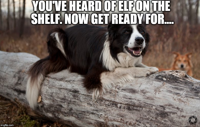 (Elf of the shelf has nothing on this) | YOU'VE HEARD OF ELF ON THE SHELF. NOW GET READY FOR.... | image tagged in dogs,funny dogs,elf on the shelf | made w/ Imgflip meme maker