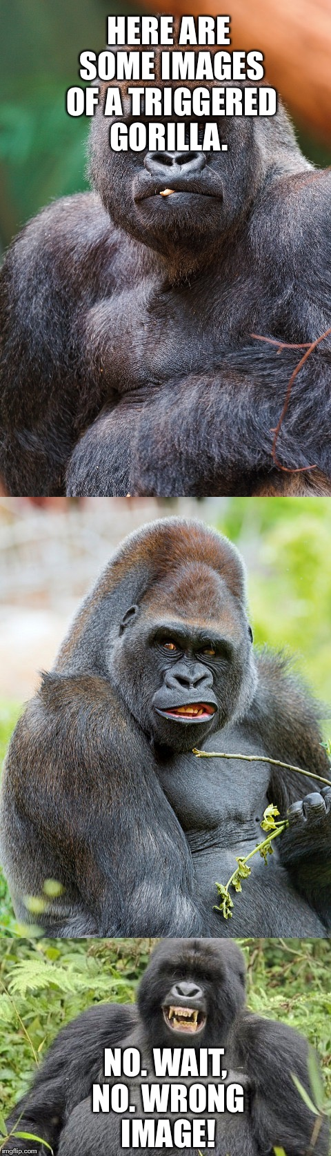 And now, Male gorillas in their natural habitat. | HERE ARE SOME IMAGES OF A TRIGGERED GORILLA. NO. WAIT, NO. WRONG IMAGE! | image tagged in wrong,image,memes | made w/ Imgflip meme maker