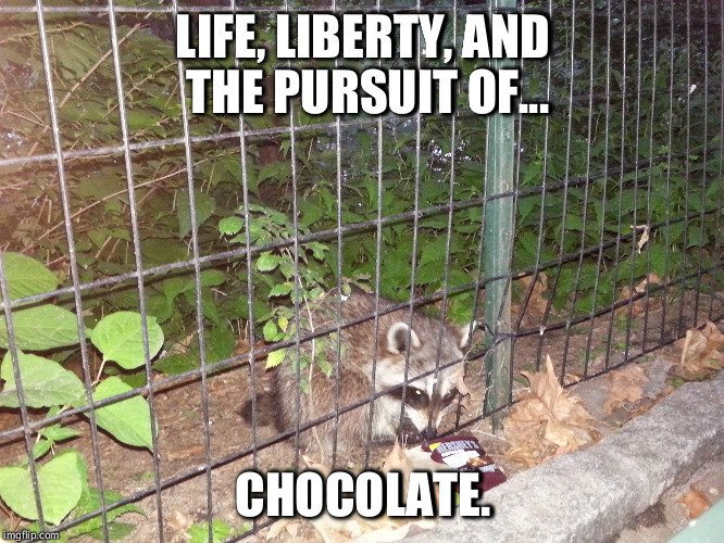 American Raccoon | LIFE, LIBERTY, AND THE PURSUIT OF... CHOCOLATE. | image tagged in chocolate,raccoon,funny,american,patriot,humor | made w/ Imgflip meme maker