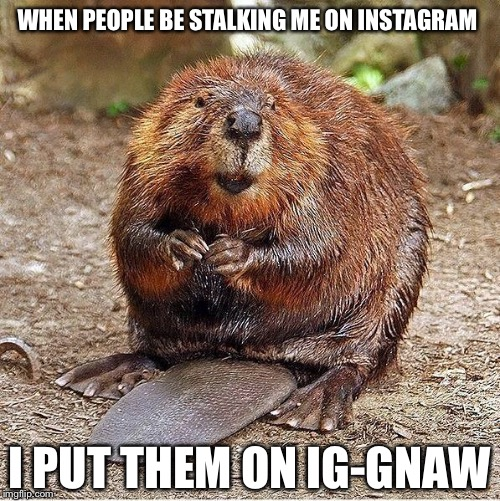 Rbeaver |  WHEN PEOPLE BE STALKING ME ON INSTAGRAM; I PUT THEM ON IG-GNAW | image tagged in rbeaver,memes,funny,instagram,bad pun,cute animals | made w/ Imgflip meme maker