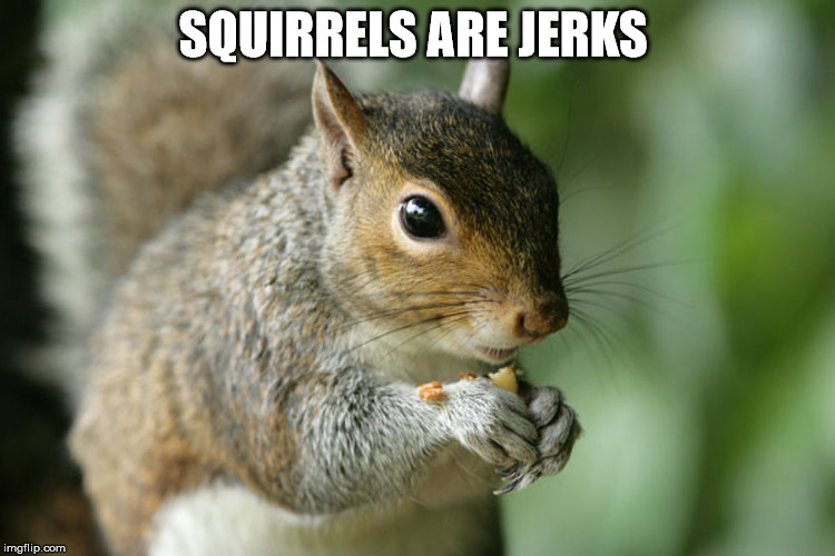 Squirrels are Jerks  | SQUIRRELS ARE JERKS | image tagged in squirrel,meme | made w/ Imgflip meme maker